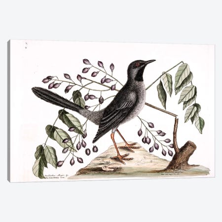 Red-Legged Thrush & Gum-Elimy Tree Canvas Print #CAT149} by Mark Catesby Canvas Art