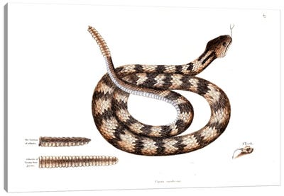 Catesby's Natural History Series: Banded Rattlesnake Canvas Print #CAT14