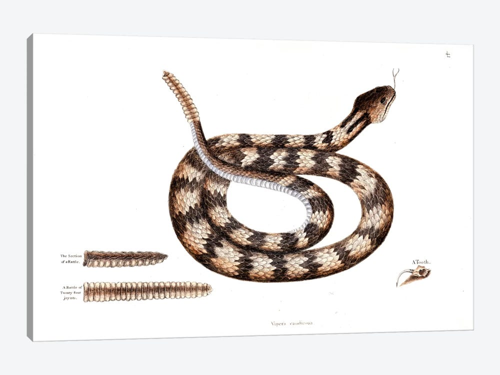 Banded Rattlesnake by Mark Catesby 1-piece Canvas Artwork
