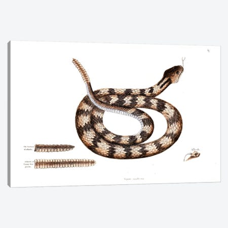 Banded Rattlesnake Canvas Print #CAT14} by Mark Catesby Canvas Art