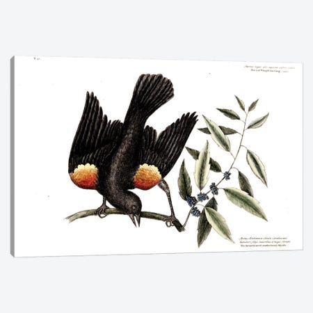 Red-Winged Starling & Broad-Leaved Candleberry Myrtle Canvas Print #CAT150} by Mark Catesby Canvas Print