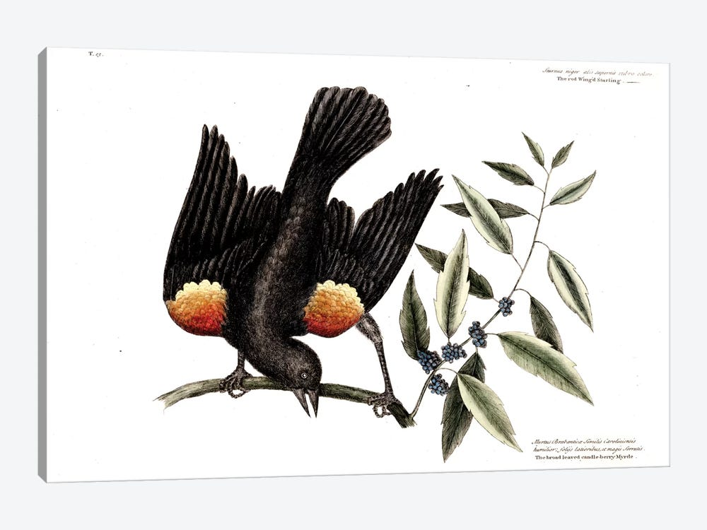 Red-Winged Starling & Broad-Leaved Candleberry Myrtle by Mark Catesby 1-piece Art Print