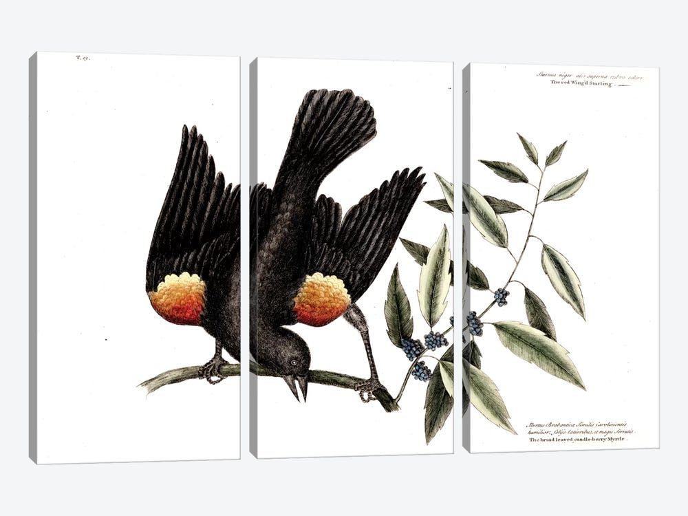 Red-Winged Starling & Broad-Leaved Candleberry Myrtle by Mark Catesby 3-piece Art Print