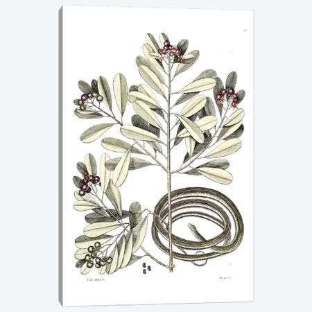 Ribbon Snake & Winter's Bark Canvas Print #CAT151} by Mark Catesby Canvas Print