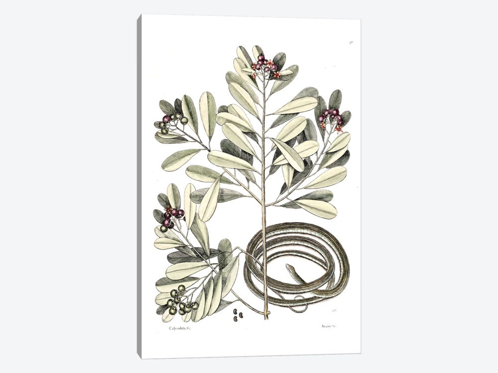 Ribbon Snake & Winter's Bark by Mark Catesby 1-piece Canvas Artwork