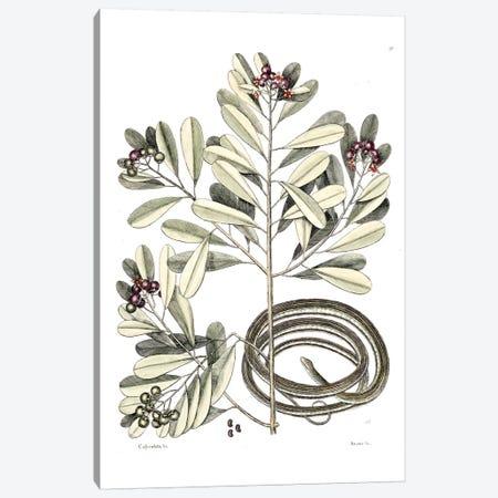 Ribbon Snake & Winter's Bark Canvas Print #CAT151} by Mark Catesby Canvas Print