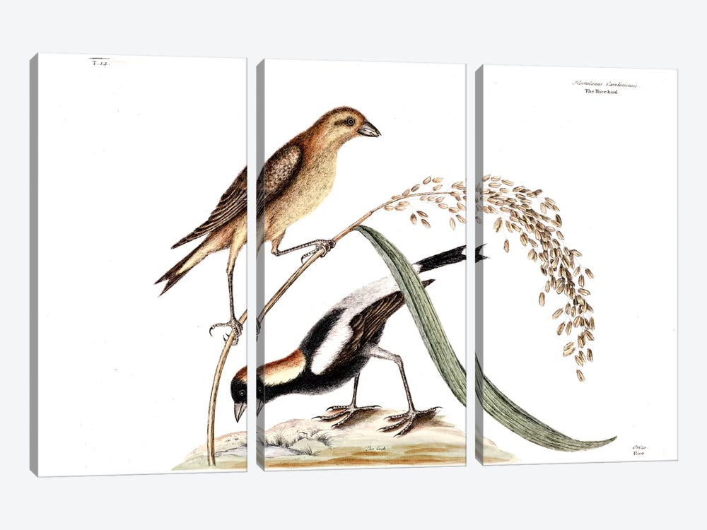 Ricebird & Rice by Mark Catesby 3-piece Canvas Art Print