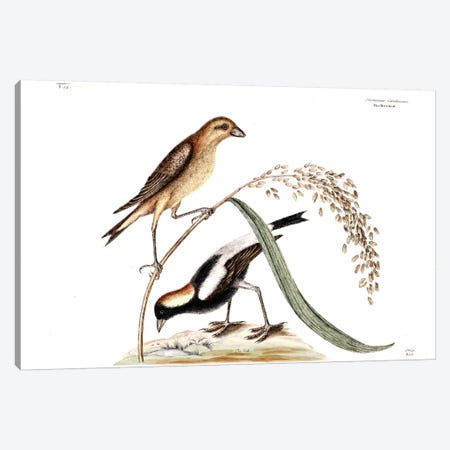 Ricebird & Rice Canvas Print #CAT152} by Mark Catesby Art Print