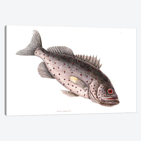 Rock Fish Canvas Print #CAT153} by Mark Catesby Canvas Art Print
