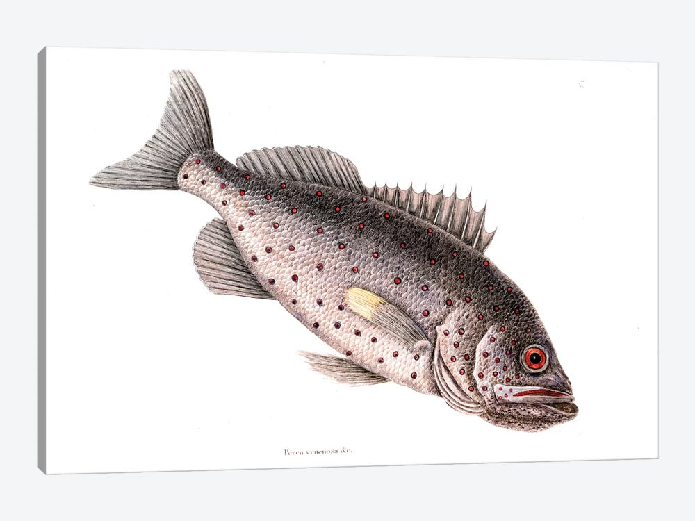 Rock Fish by Mark Catesby 1-piece Canvas Artwork