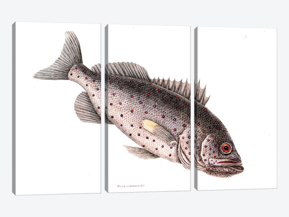 Rock Fish by Mark Catesby 3-piece Canvas Artwork