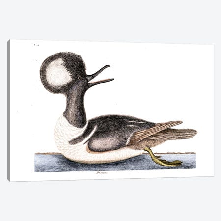 Round Crested Duck (Hooded Merganser) Canvas Print #CAT154} by Mark Catesby Canvas Artwork