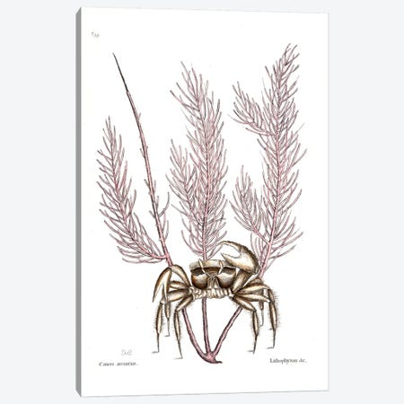 Sand Crab & Gorgonia Setosa (Sea Plume) Canvas Print #CAT155} by Mark Catesby Canvas Artwork