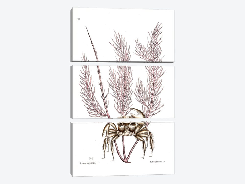 Sand Crab & Gorgonia Setosa (Sea Plume) by Mark Catesby 3-piece Canvas Artwork
