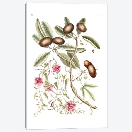 Sapadillo Tree & Convolvulus Carolinus (Ipomoea) Canvas Print #CAT156} by Mark Catesby Canvas Wall Art