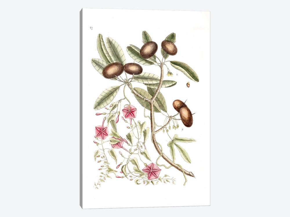 Sapadillo Tree & Convolvulus Carolinus (Ipomoea) by Mark Catesby 1-piece Art Print