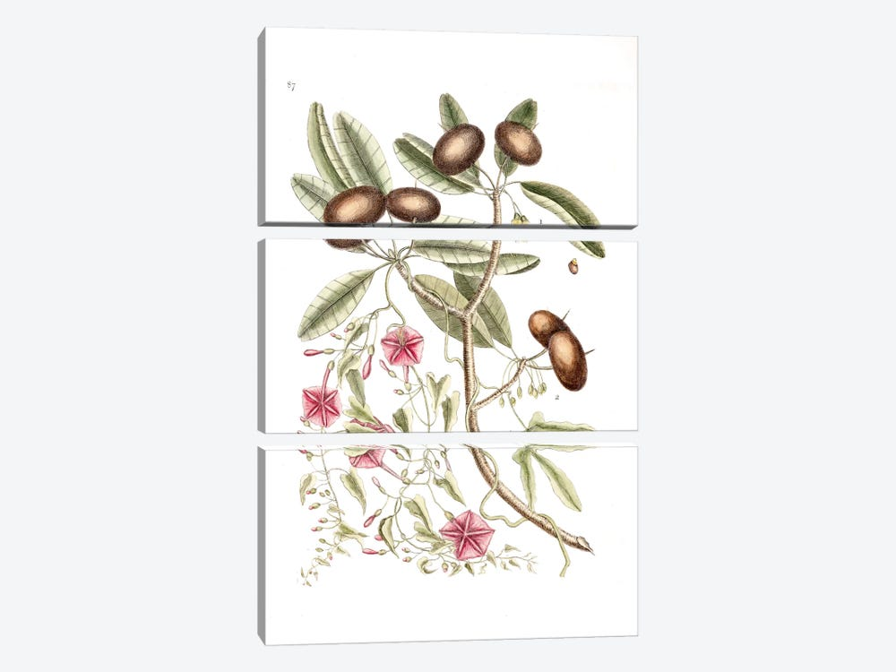 Sapadillo Tree & Convolvulus Carolinus (Ipomoea) by Mark Catesby 3-piece Canvas Art Print