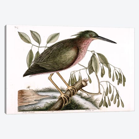 Small Bittern & Fraxinus Americana (White Ash) Canvas Print #CAT158} by Mark Catesby Art Print