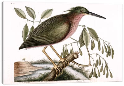 Catesby's Natural History Series: Small Bittern & Fraxinus Americana (White Ash) Canvas Print #CAT158