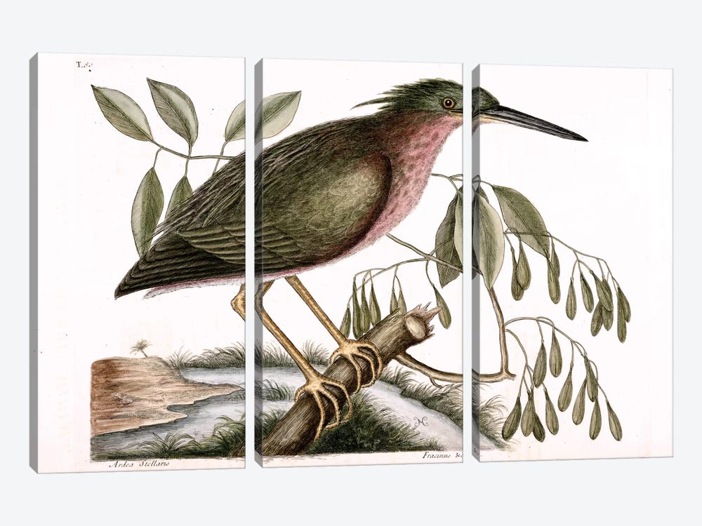 Small Bittern & Fraxinus Americana (White Ash) by Mark Catesby 3-piece Canvas Art Print