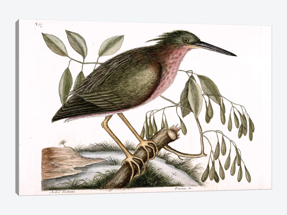 Small Bittern & Fraxinus Americana (White Ash) by Mark Catesby 1-piece Canvas Print