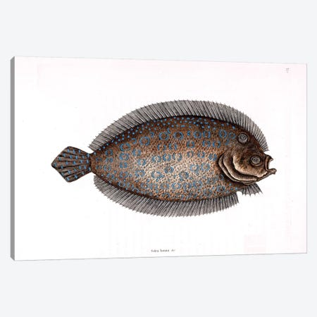Sole Canvas Print #CAT159} by Mark Catesby Canvas Art Print