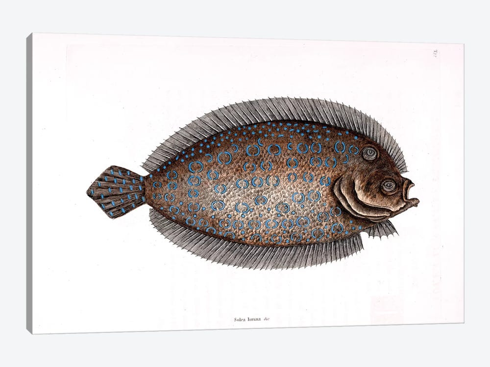 Sole by Mark Catesby 1-piece Canvas Art