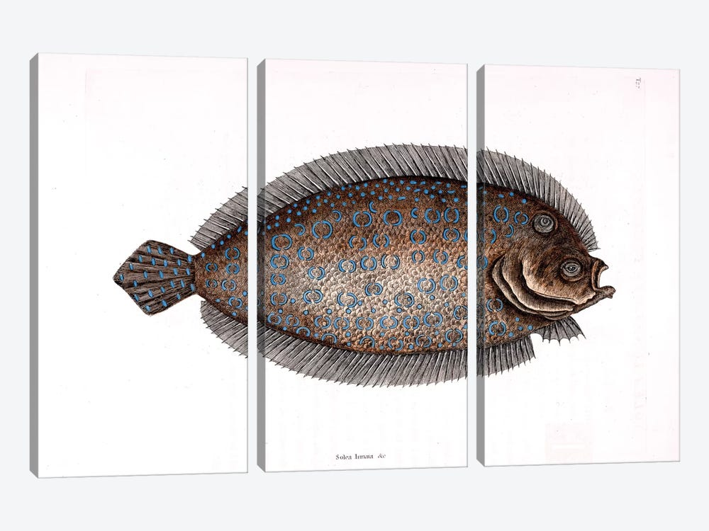 Sole by Mark Catesby 3-piece Canvas Artwork