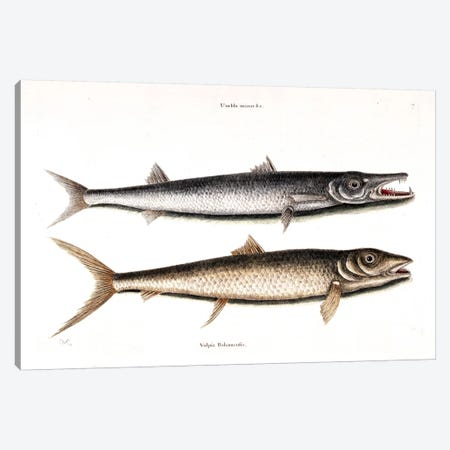 Barracuda & Vulpis Bahamensis Canvas Print #CAT15} by Mark Catesby Canvas Wall Art