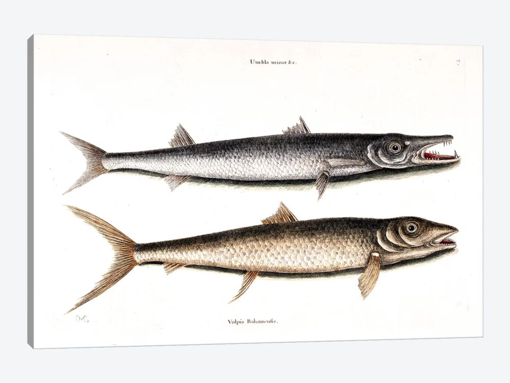 Barracuda & Vulpis Bahamensis by Mark Catesby 1-piece Canvas Print