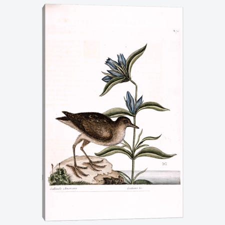Soree & Gentiana Saponaria Canvas Print #CAT160} by Mark Catesby Canvas Wall Art
