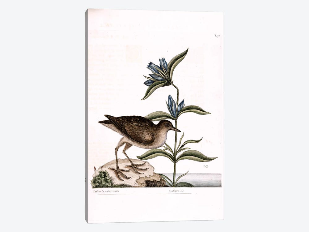 Soree & Gentiana Saponaria by Mark Catesby 1-piece Canvas Artwork
