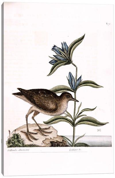 Soree & Gentiana Saponaria Canvas Art Print