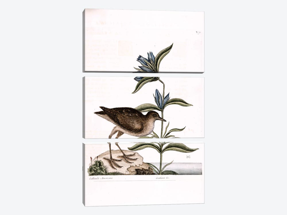 Soree & Gentiana Saponaria by Mark Catesby 3-piece Canvas Wall Art