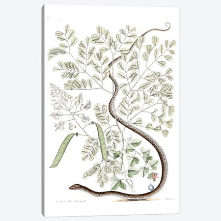 Spotted Ribbon Snake & Caesalpinia Brasiliensis Canvas Print #CAT161} by Mark Catesby Canvas Art