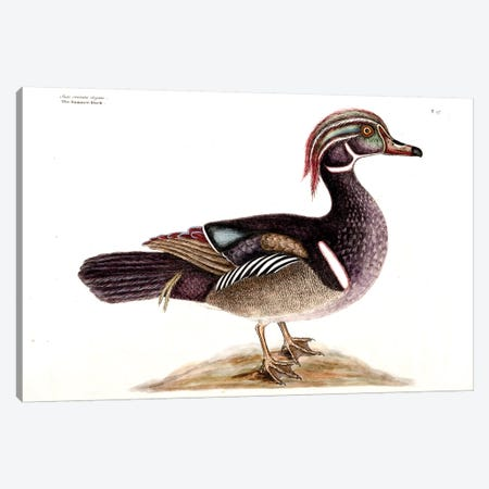 Summer (Carolina) Duck Canvas Print #CAT162} by Mark Catesby Canvas Wall Art