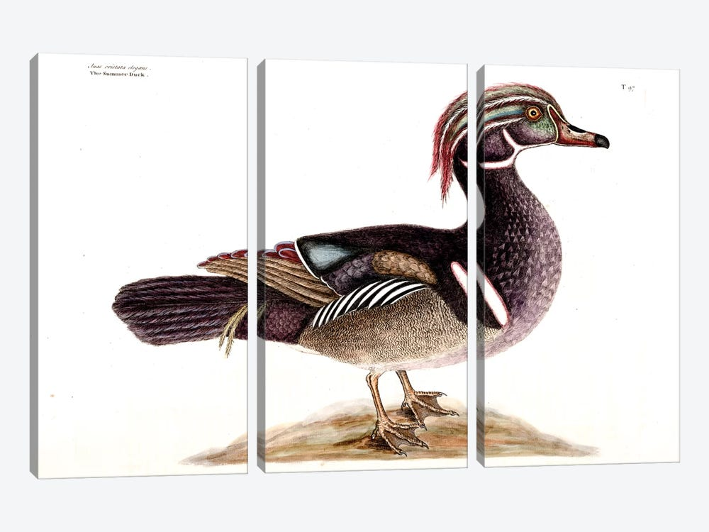 Summer (Carolina) Duck by Mark Catesby 3-piece Canvas Artwork