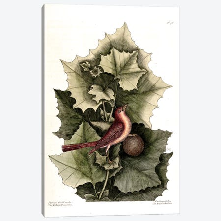 Summer Redbird & Western Planetree Canvas Print #CAT163} by Mark Catesby Canvas Artwork