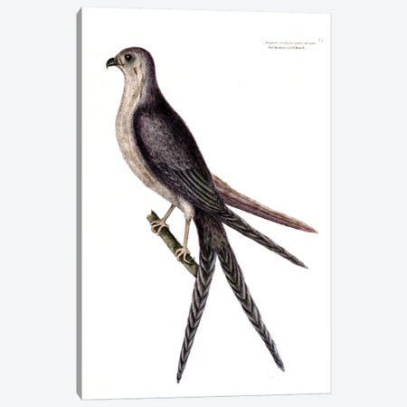 Swallow-Tailed Hawk Canvas Print #CAT164} by Mark Catesby Art Print