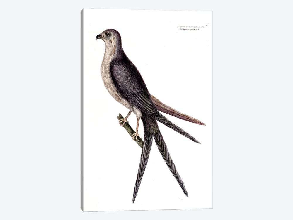 Swallow-Tailed Hawk by Mark Catesby 1-piece Canvas Artwork