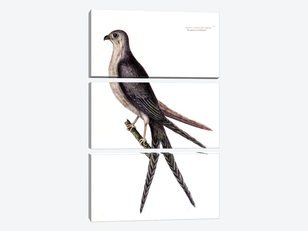 Swallow-Tailed Hawk by Mark Catesby 3-piece Canvas Wall Art
