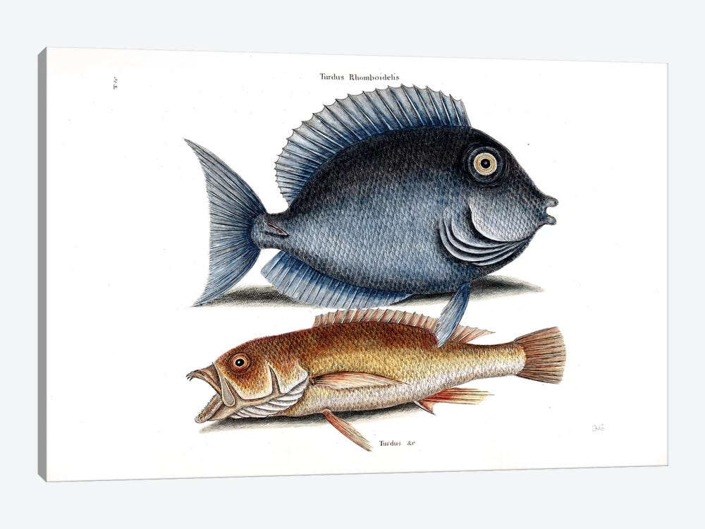 Tang & Yellow Fish by Mark Catesby 1-piece Art Print