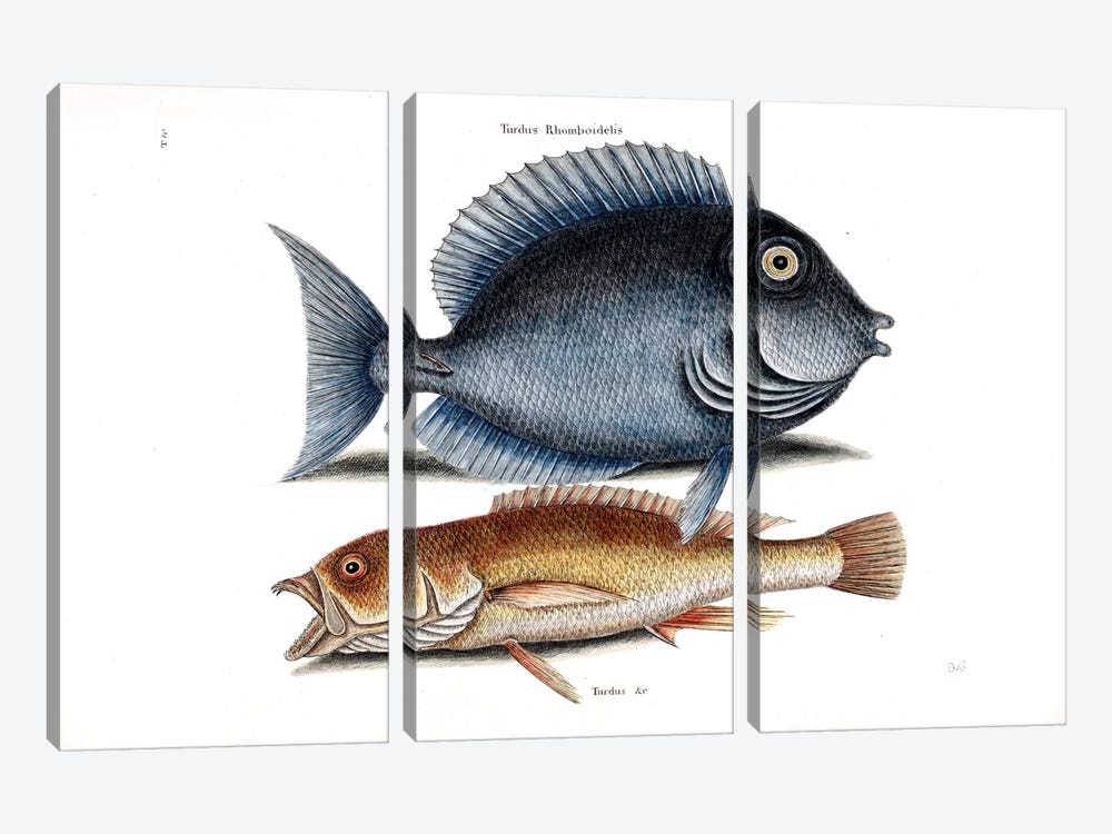 Tang & Yellow Fish by Mark Catesby 3-piece Canvas Art Print