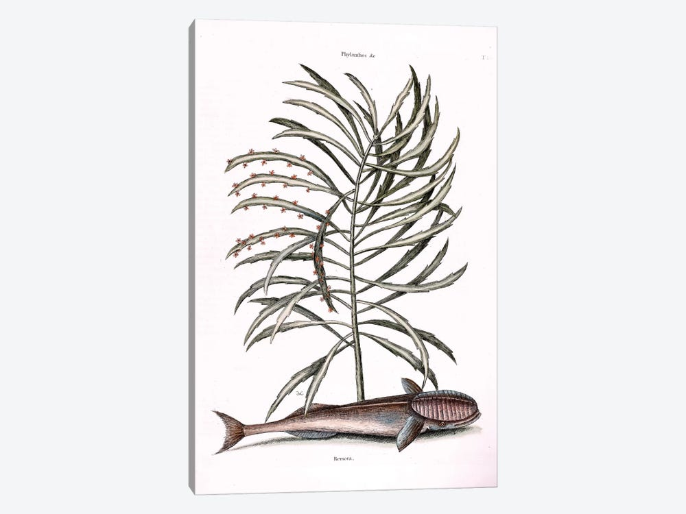 The Sucking Fish (Remora) & Phyllanthus by Mark Catesby 1-piece Canvas Art