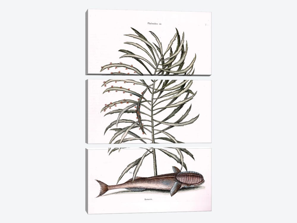 The Sucking Fish (Remora) & Phyllanthus by Mark Catesby 3-piece Canvas Artwork