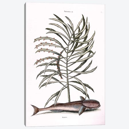 The Sucking Fish (Remora) & Phyllanthus Canvas Print #CAT166} by Mark Catesby Canvas Print