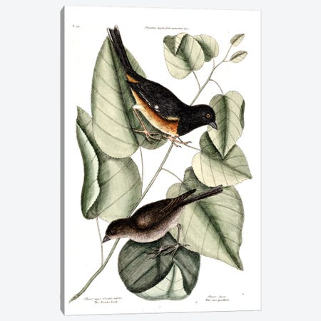Towhe, Cowpen & Black Poplar Of Carolina Canvas Print #CAT167} by Mark Catesby Canvas Art Print