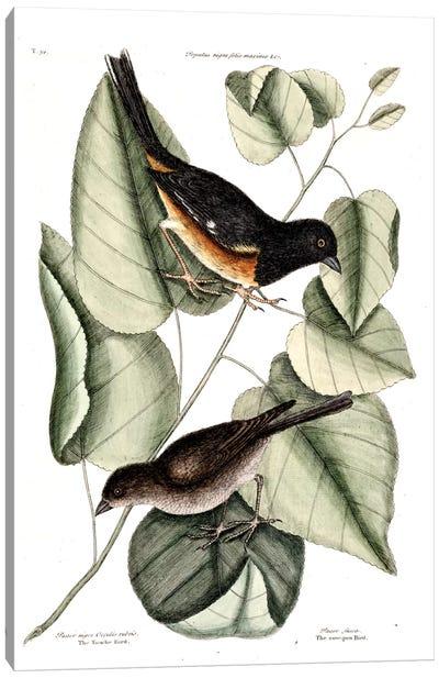 Towhe, Cowpen & Black Poplar Of Carolina Canvas Art Print