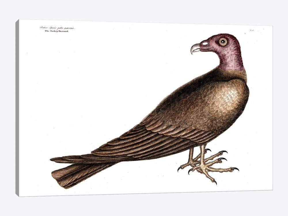 Turkey Buzzard by Mark Catesby 1-piece Canvas Art