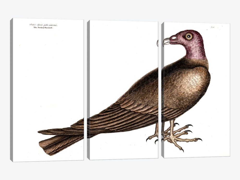 Turkey Buzzard by Mark Catesby 3-piece Canvas Artwork